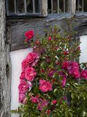 picture of climbing rose  - Red roses climbing on Tudor timber framed house - JPG
