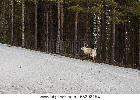 Reindeer Loking For The Flock At The Forest Edge