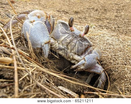 Land Crab Leaves Its Hole