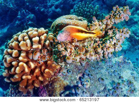 Amazing undersea nature, beautiful colorful coral garden and clownfish between it, beauty of exotic nature, tropical vacation concept