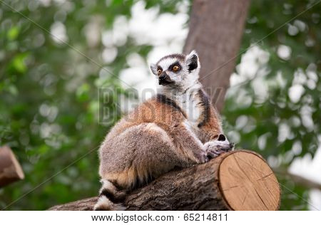 Ring-tailed Lemur (Lemur catta) looks out with big, bright orange eyes and watching