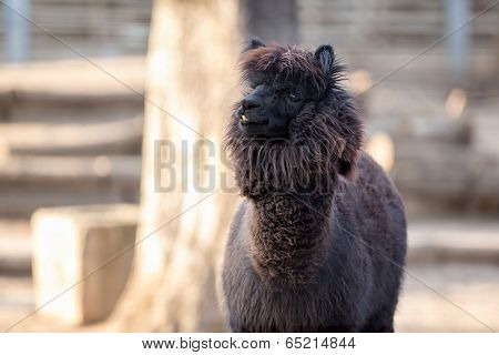 Portrait of Alpaca with black fur  (Vicugna pacos)