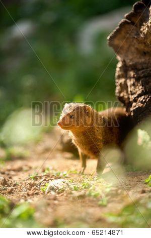 Cute little Ferret in habitat