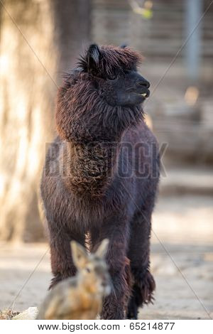 Funny Alpaca with black fur  (Vicugna pacos)