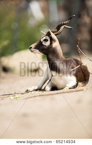 beautiful  Mhorr gazelle (Gazella dama mhorr) on sunny day