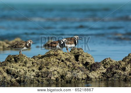 3 Ruddy Turnstone (arenaria Interpres) Showing Winter And Summer Plumages