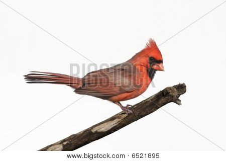 Isolated Cardinal On A Stump