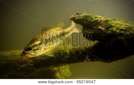 Underwater Largemouth Bass Fish