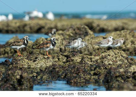 Group Of Ruddy Turnstone And  Sanderlings In Varying Plumages