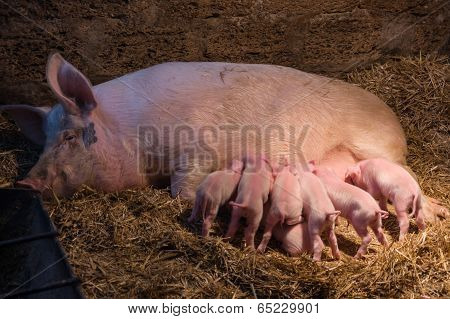 piglets with a pig