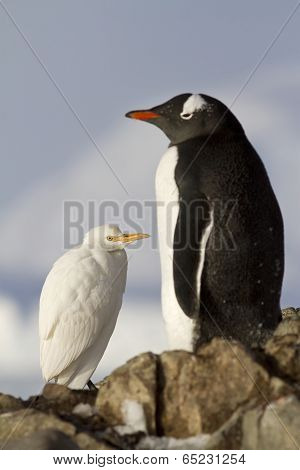 Cattle Egret And Gentoo Penguins 1