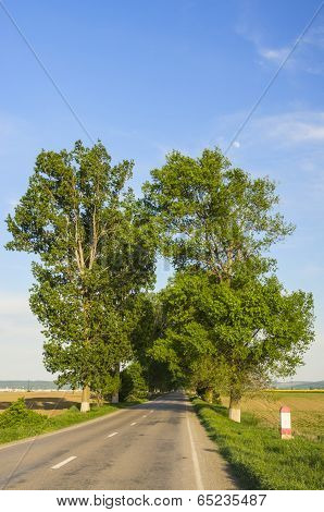 Road Between Poplars Tree