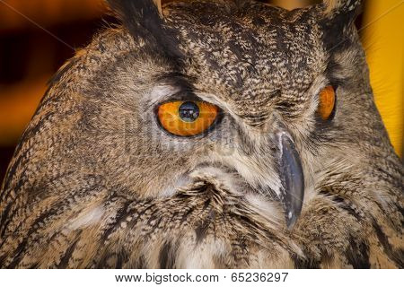 Watching eagle owl in a sample of birds of prey, medieval fair