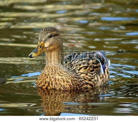Female Mallard Duck in water