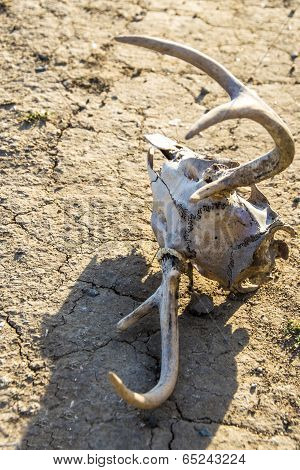 Skull and Drought