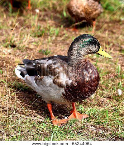 Mallard Duck Ducks walking in grass