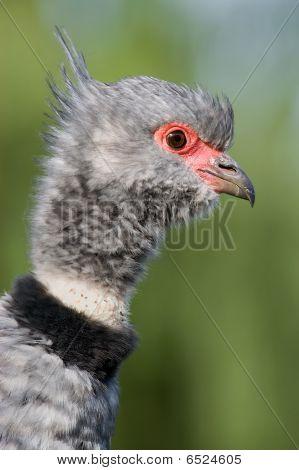Close-up of a Southern Screamer (Chauna torquata)