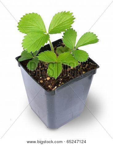 Strawberry Plant in pot