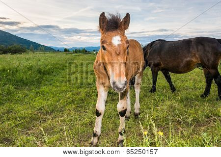 Colt In Front Of Its Mother