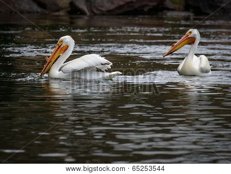 American White Pelican With Fish
