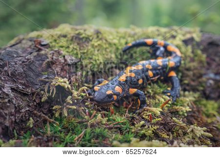 Spotted salamander in Carpathian mountains