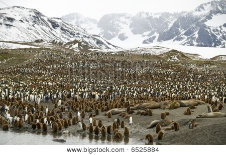 Crowded Valleys - Penguins, South Georgia