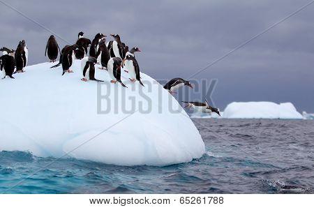 Gentoo Penguins jumping off of iceberg