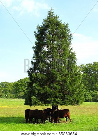 Cows Shading Under A Tree Tural Landscape