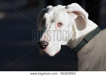 White Great Dane Portrait
