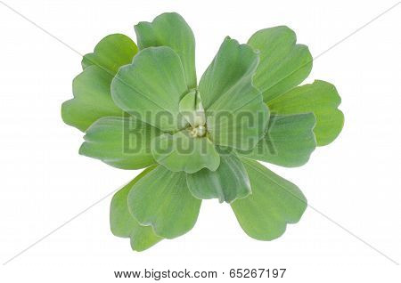 Water lettuce isolated on white background
