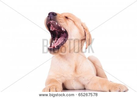 super excited labrador retriever puppy dog screaming of joy. tired little puppy is yawning