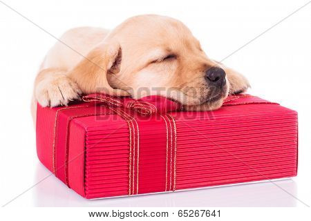 adorable little labrador retriever puppy dog is sleeping on a red present box on white background