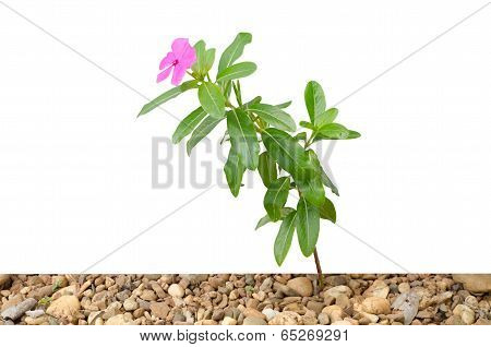 Periwinkle isolated on white background