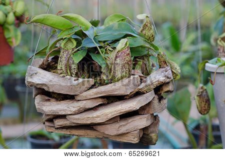 Nepenthes in basket