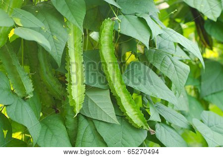 Winged Bean Plant