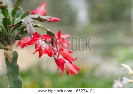 Close up Christmas Cactus (schlumbergera)