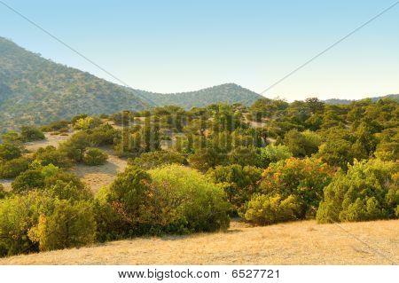 Grove Of Juniper Trees