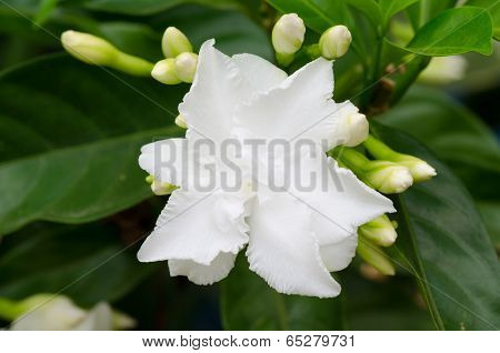 Common Gardenia Or Cape Jasmine
