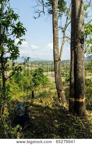 Slash And Burn Cultivation, Rainforest Cut And Burned