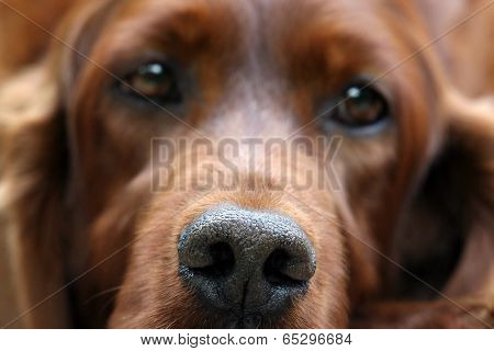 Irish Setter Nose