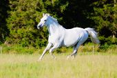 picture of great horse  - White purebred horse having a great time running on grass field - JPG