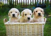 stock photo of golden retriever puppy  - Three cute golden retriever puppies in a basket - JPG