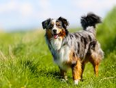image of collie  - Old brown black and white border collie standing in the grass.