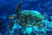 image of undersea  - Big turtle swimming undersea - JPG