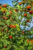 pic of rowan berry  - Rowan tree with red berries and leaves