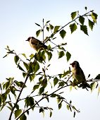image of goldfinches  - A Pair of Goldfinches in a tree - JPG