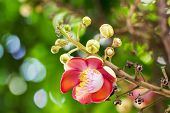 image of cannonball-flower  - Shorea robusta or Cannonball flower from the tree - JPG