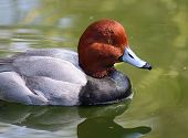 stock photo of ducks  - Redhead Duck Male Duck swimming in water Ducks - JPG