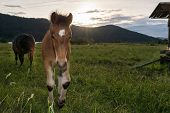 foto of colt  - Colt with a setting sun in the background - JPG