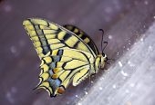 Image of butterfly swallowtail (papilio machaon).